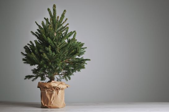If you want to buy a Christmas tree in Hong Kong, a good option to consider is buying a Christmas tree in a pot. A good sustainable option.
